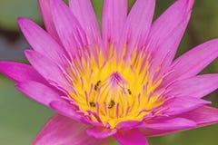 Abschluss- herauf Rosa waterlily mit Biene auf Teich stockfotografie