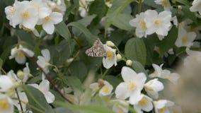 Abschluss herauf schönen bunten Schmetterling auf weißen Sonnenblumengrünhintergrundzufuhrnektar-Blütenstaubblumen stock video