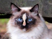 Abschluss herauf siamesische Katze stockfoto