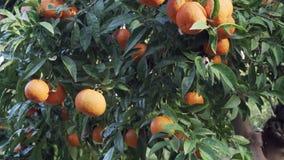 Abschluss herauf Tangerinebaum - Neigung stock video footage