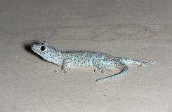 Abschluss herauf Tokay-Gecko ist auf dem Boden stockbild