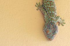 Abschluss herauf Tokay-Gecko ist auf der Wand stockbild