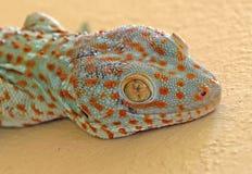 Abschluss herauf Tokay-Gecko ist auf der Wand stockfotografie