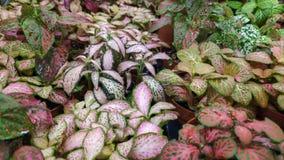 Abschluss herauf tropische Zimmerpflanze Fittonia stockfoto