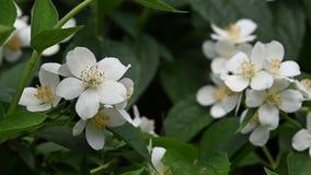 Abschluss herauf weiße Jasminblumen in der Blüte stock video footage