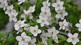 Abschluss herauf weiße Kirschblüte über Grün stock video