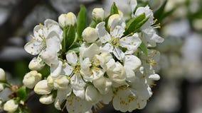 Abschluss herauf weiße Kirschpflaumenblüte stock video footage