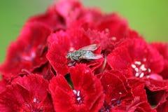Abschluss oben in den portugiesischen Gärten blüht Flox - Dianthus und eine Fliege stockfotos