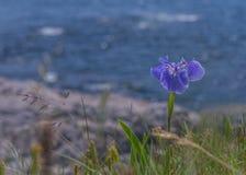 Abschluss oben der blauen Blume auf dem Ufer des Ozeans Lizenzfreie Stockbilder