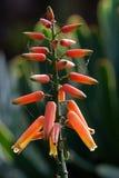 Abschluss oben der Blumen der Gebläse-Aloe Lizenzfreie Stockbilder