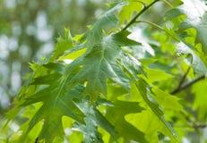 Abschluss oben der Eiche verlässt am Baum Lizenzfreies Stockfoto