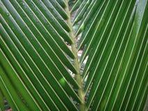 Abschluss oben der frischen Kokosnuss verlässt im Garten Stockfoto