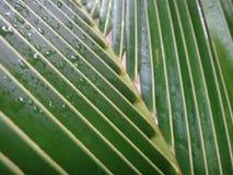 Abschluss oben der frischen Kokosnuss verlässt im Garten Lizenzfreie Stockfotografie