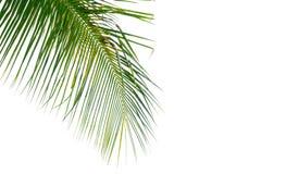 Abschluss oben der Kokosnuss verlässt auf einem weißen Hintergrund, auf dem links Stockfotos