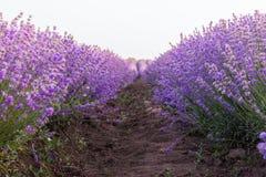 Abschluss oben der Lavendelfeldreihe unter dem Sonnenaufganglicht Stockfotos