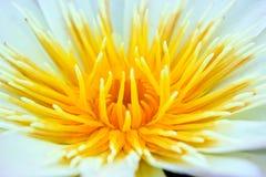 Abschluss oben der Lilie des gelben Wassers Stockfotografie