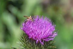 Abschluss oben der purpurroten Blume und der Biene sammelt Blütenstaub stockbild