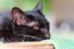 Abschluss oben der schwarzen Katze Stockbilder