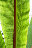 Abschluss oben des Bananenbaumblattes Stockfotografie