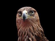 Schließen Sie oben vom goldenen Adler Lizenzfreie Stockfotografie