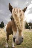 Abschluss oben des Ponys Lizenzfreies Stockbild