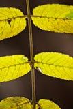 Abschluss oben des Teils eines Verbundwalnussblattes im Herbst/im Fall Stockbilder