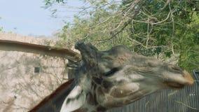 Abschluss oben Giraffe ` s Hauptessens verlässt vom Baum stock footage