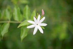 Abschluss oben Jasmin ` s der weißen Blume und der Knospen Sternes Stockfotografie