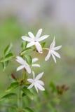 Abschluss oben Jasmin ` s der weißen Blume und der Knospen Sternes Stockfoto