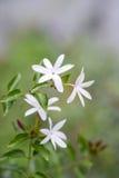 Abschluss oben Jasmin ` s der weißen Blume und der Knospen Sternes Lizenzfreie Stockfotografie