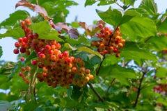 Abschluss oben von Bündeln von roten Beeren von einem Guelder rosafarben oder von Viburnum Stockbilder