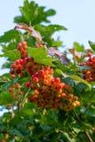 Abschluss oben von Bündeln von roten Beeren von einem Guelder rosafarben oder von Viburnum Stockfotografie