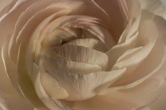 Abschluss oben von erröten rosa Ranunculusblume Stockbilder