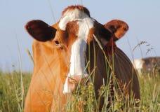 Abschluss-Stirnseite der Holstein-Milchkuh Stockfotografie