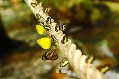 Abschlusshohe oder Makroviele bunter Schmetterling auf dem Seil mit Wasserfallhintergrund Stockfotos