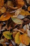 从abscissed黄色叶子的背景 图库摄影