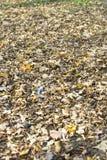 abscissed leavesyellow Arkivfoto