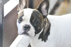 Absent minded French bulldog or French bulldog Royalty Free Stock Images