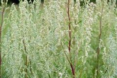 Absinthium артемизии полыни - постоянная трава серебристого цвета, с сильным ароматичным запахом и горькой полынью известными стоковое фото rf
