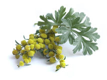 Absinthium (Artemisia absinthium) royalty free stock photos