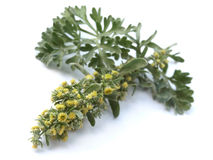 Absinthium (Artemisia absinthium)nnis). Blooming absinthium - leaves and flowers stock image