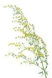 AbsinthiumArtemisiaabsinthium Royaltyfria Bilder