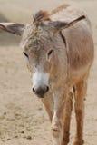 Absolut förtjusande framsida av en Shaggy Wild Donkey Fotografering för Bildbyråer