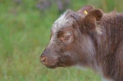 Absolut förtjusande höglands- kalv i Skottland Arkivfoton