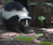 Absolut förtjusande svartvit skunk Royaltyfria Foton
