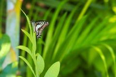 Absolut härlig iakttagelse av en mest fantastisk orange asiatisk fjäril för blått, för svart och för solnedgång i ett ljust - grä Fotografering för Bildbyråer