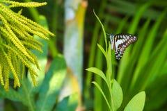 Absolut härlig iakttagelse av en mest fantastisk orange asiatisk fjäril för blått, för svart och för solnedgång i ett ljust - grä Royaltyfri Foto