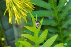 Absolut härlig iakttagelse av en mest fantastisk orange asiatisk fjäril för blått, för svart och för solnedgång i ett ljust - grä Royaltyfria Bilder