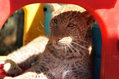 Absolut unik jordgubbeleopard Royaltyfri Foto