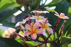 Absolut ursnygg Plumeria Royaltyfri Fotografi